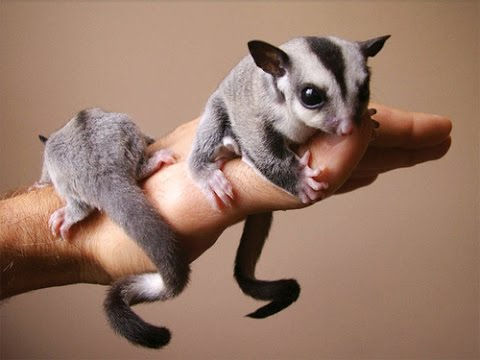 sugarglider - Copy