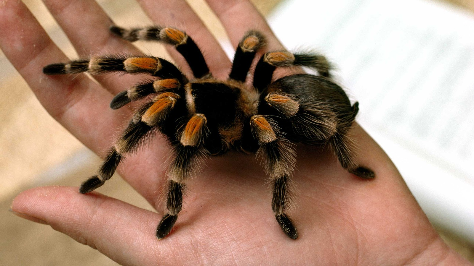 tarantula-closeup-hand - Copy